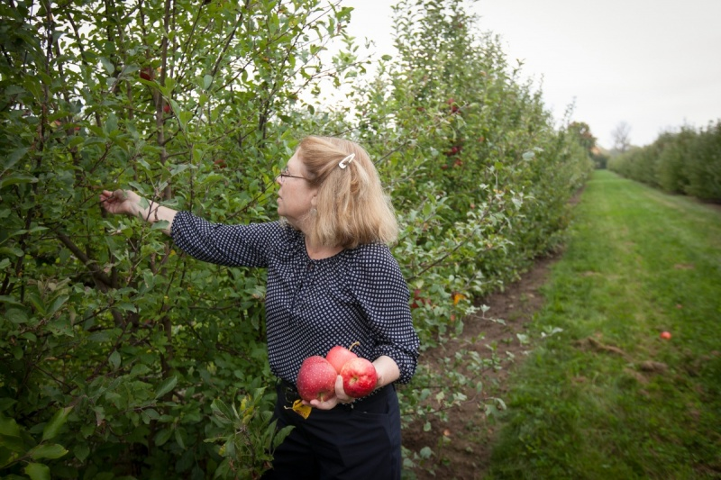 A woman picks apples in an orchard