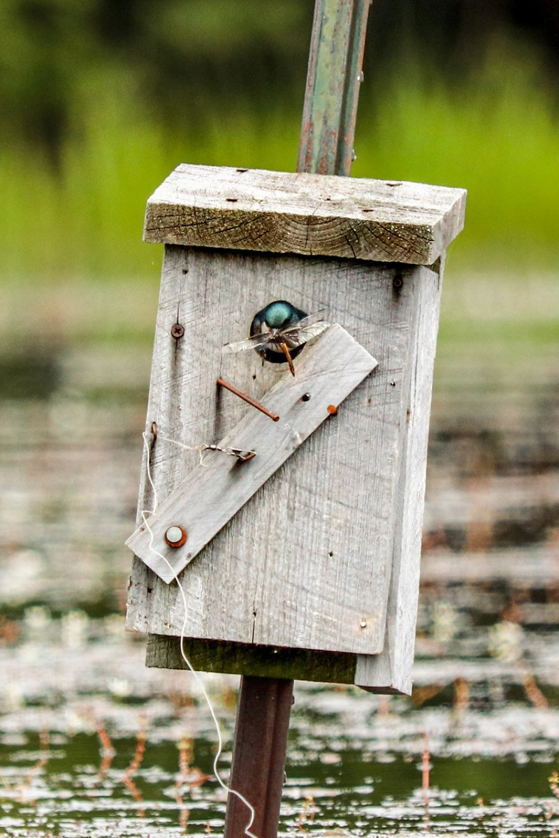 A tree swallow in a bird house