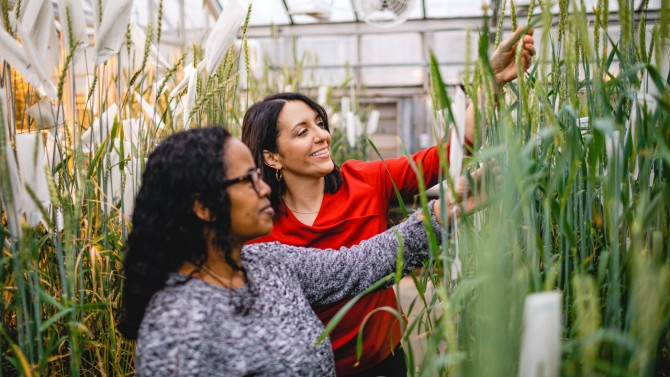 Maricelis Acevedo, right, examines wheat plants with doctoral candidate Shitaye Megerssa at a campus greenhouse in early 2020.