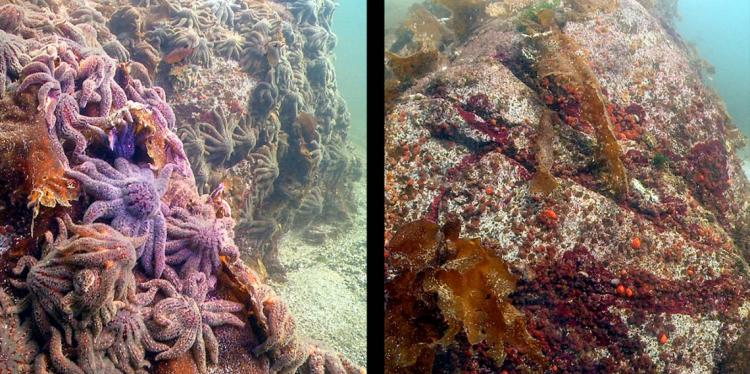 Before and after photo showing decline of large sunflower sea stars
