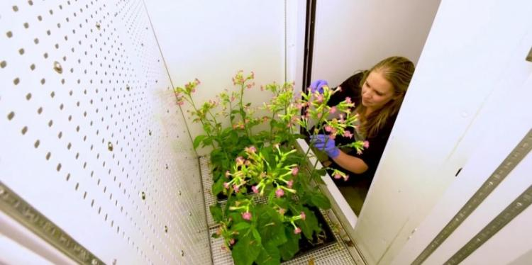 Female student examines tall, blossoming plants