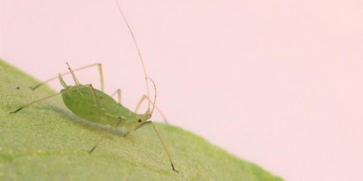 pea aphid on a leaf