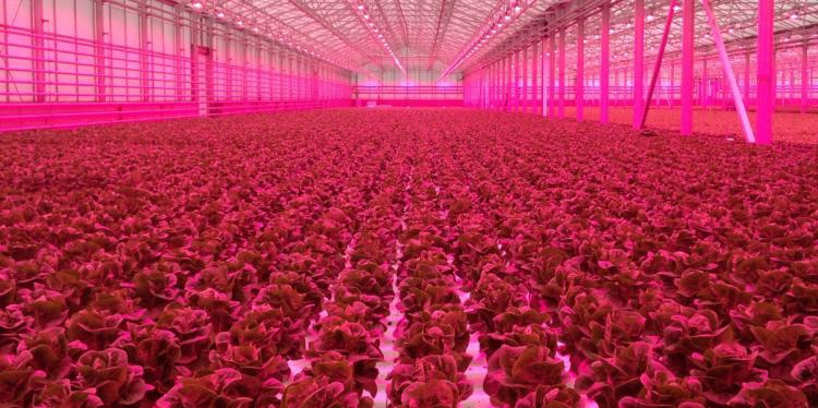 CEA greenhouse that has pink lights