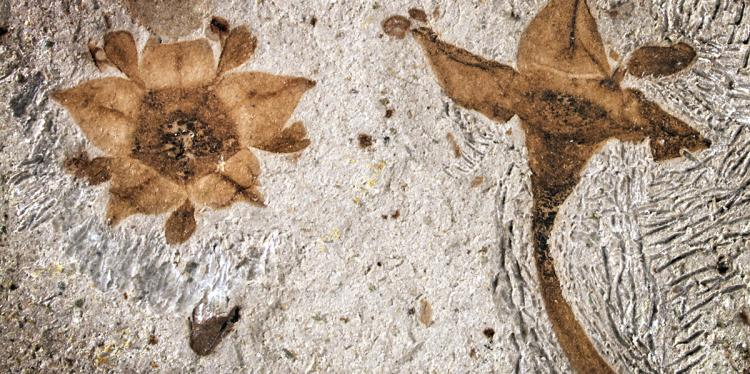 Two fossilized flowers