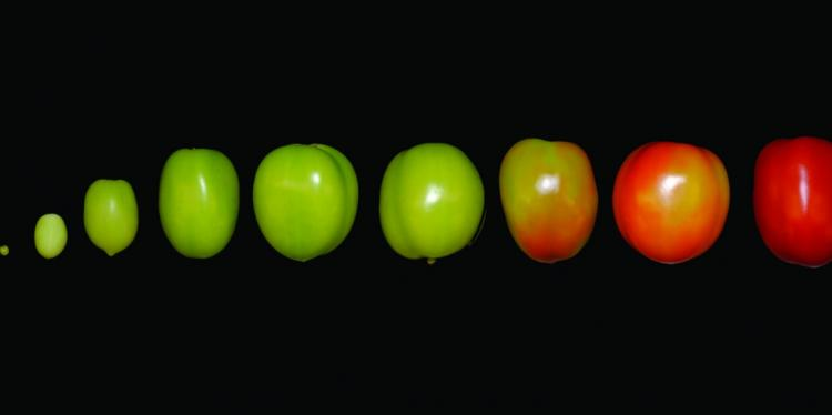 Several tomatoes at various stages of ripeness