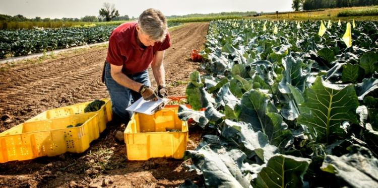 A man examines broccoli growing in a field and takes notes on a clipboard