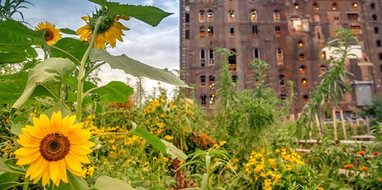 Sunflowers in the foreground of an urban green space