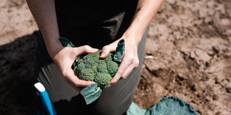 A person kneeling on a dirt ground holding a head of broccoli