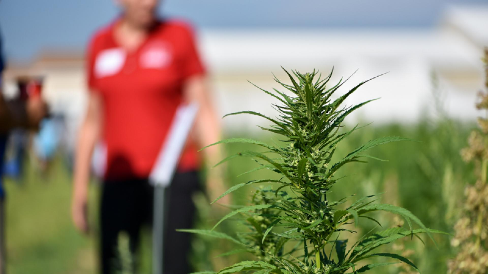 Hemp plant in field