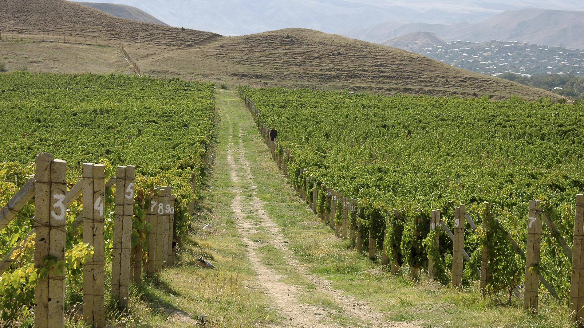A large green wine vineyard with a road going up the middle of it