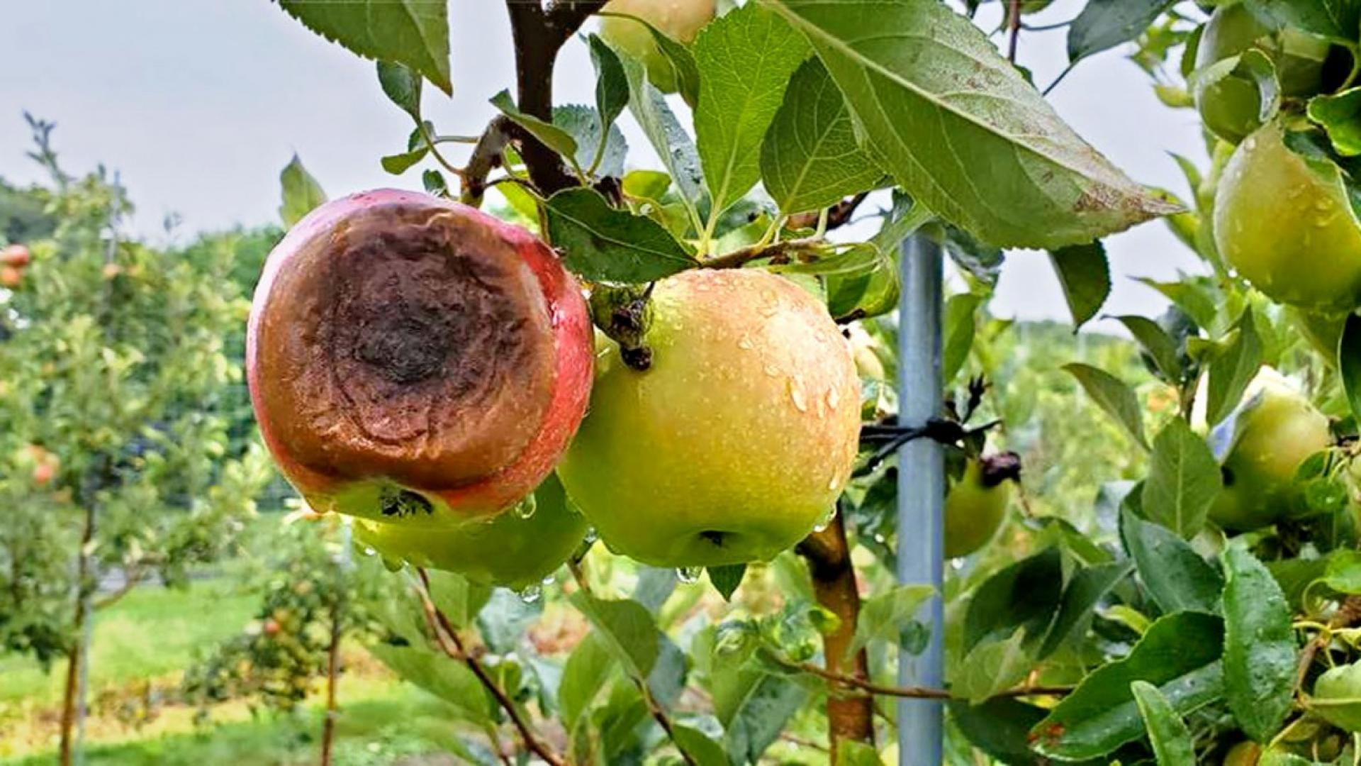 A rotten apple hanging from a tree