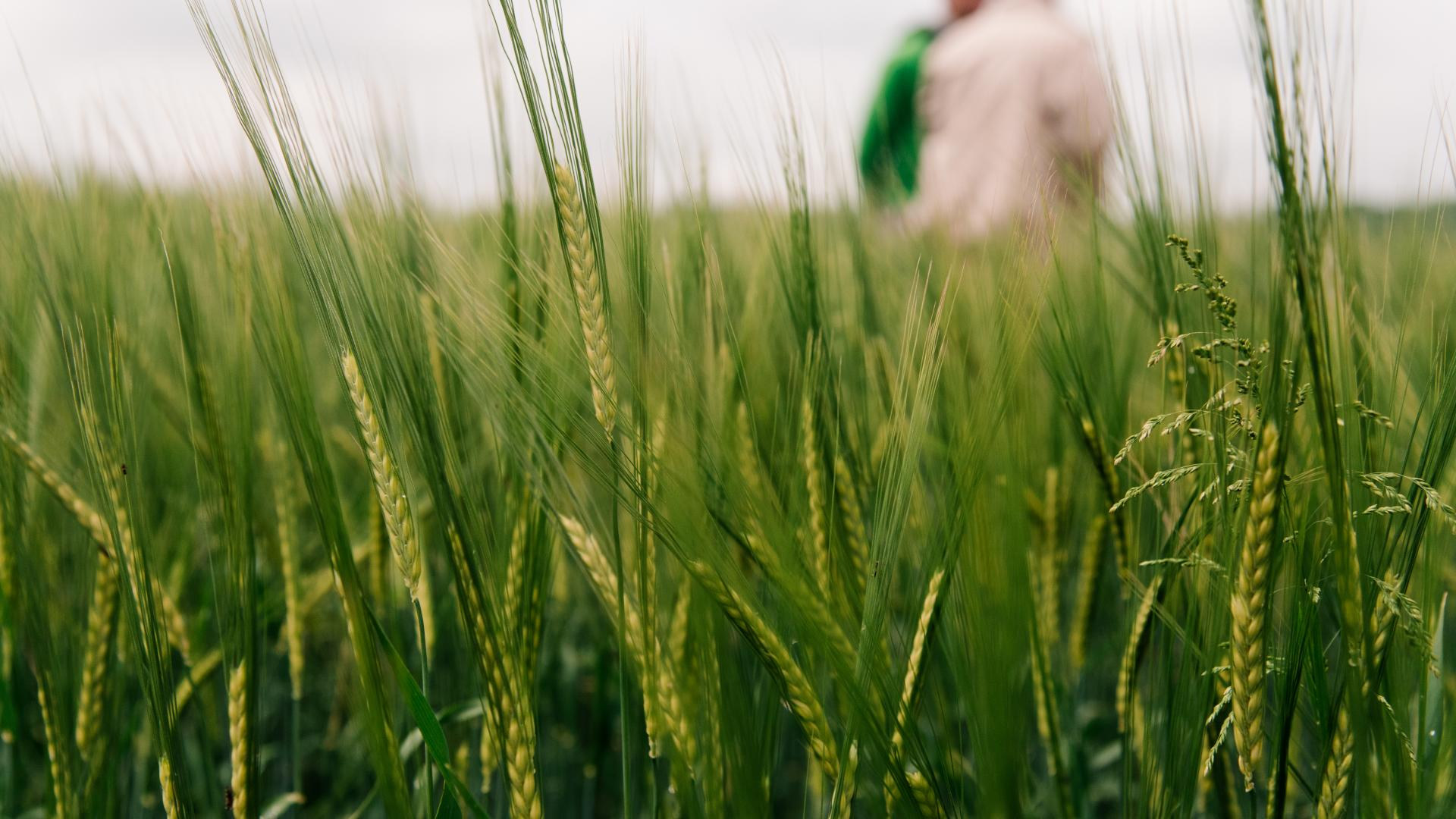 a close up of barley growing in a field with two men in the background
