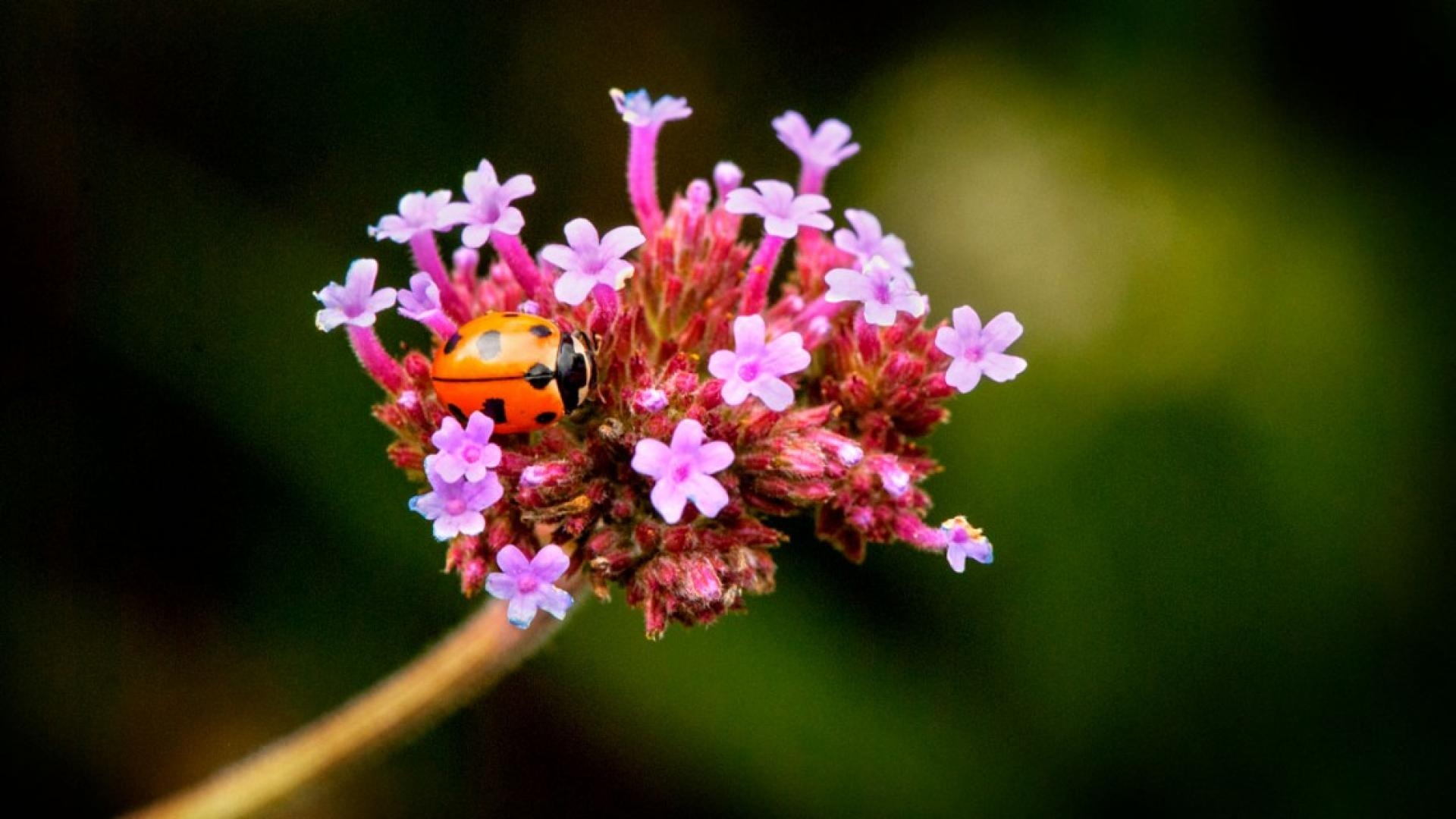 A lady bug on a flower
