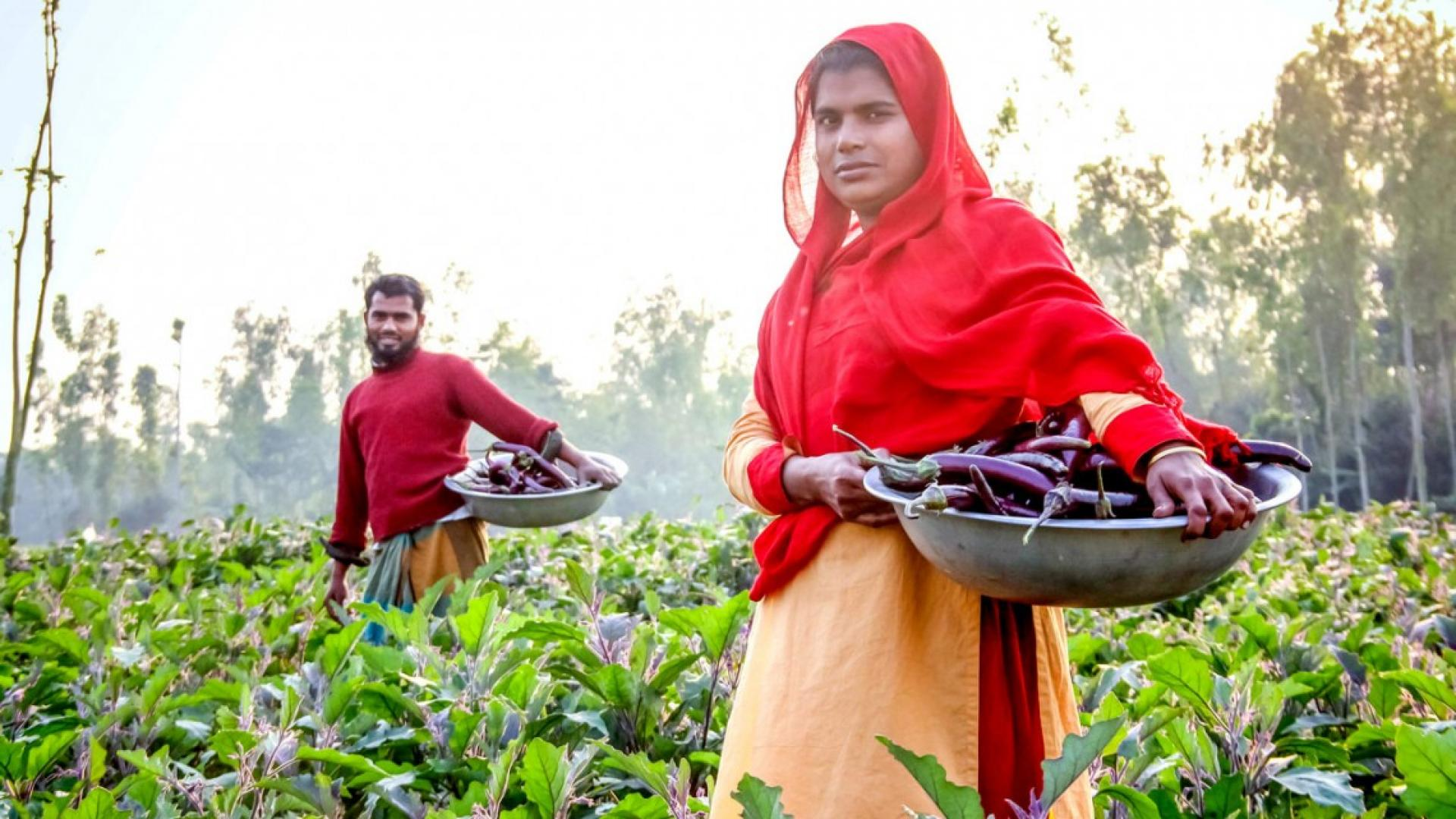 Small-scale farmers harvest eggplant from their fields in Bangladesh in 2018.