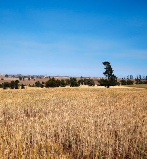 A large golden field of wheat with a blue sky and trees on the horizon