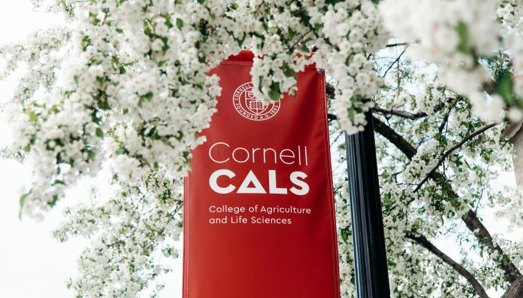 A red Cornell CALS logo banner surrounded by the white blossoms of a flowering tree.