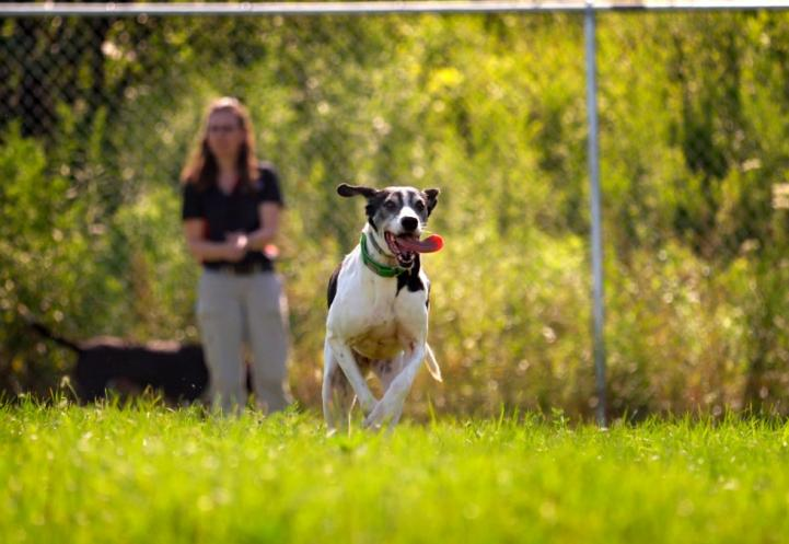 A black and white short haired dog running through a grassy field with its tongue out