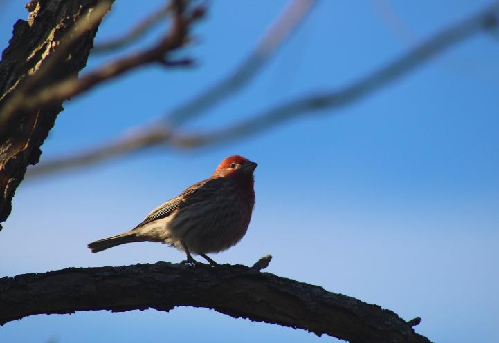 a small, red, white and brown bird on a branch