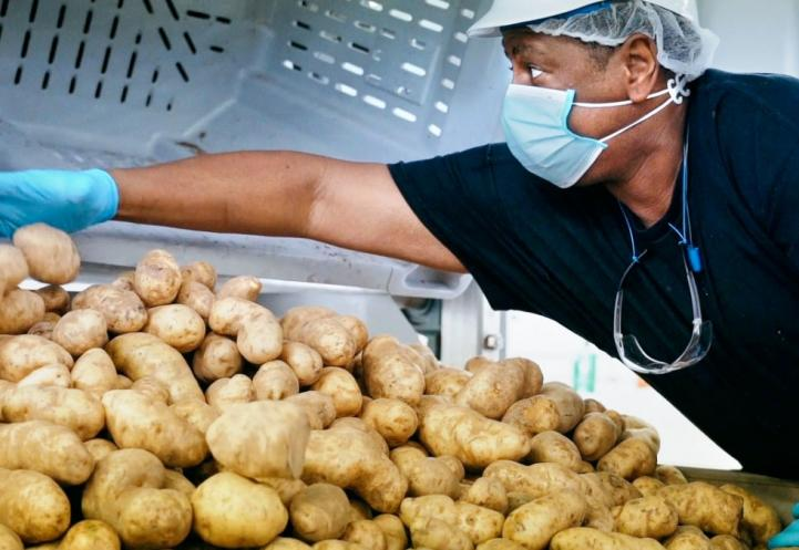 A man wearing a helmet and a face mask reaching across a big pile of potatoes