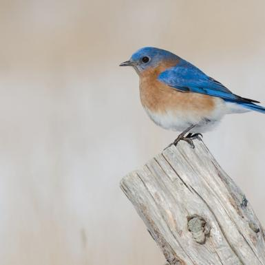 Bluebird perches on a piece of wood