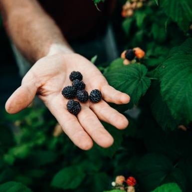 Male hand holding black raspberries.
