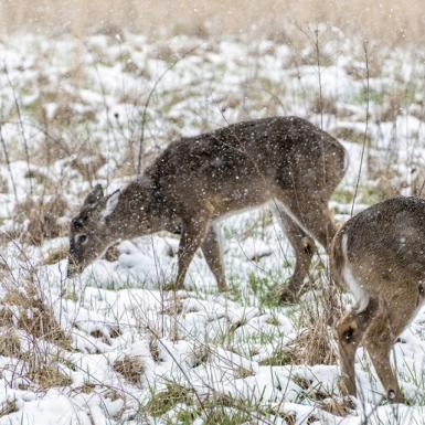 Deer in a snowy field eating vegetation from the ground