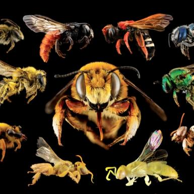 A collage of different kinds of wild bees.