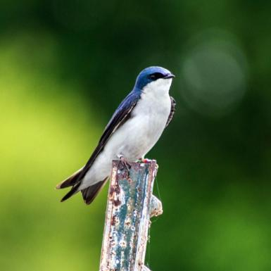 A small blue and white tree swallow standing on a post