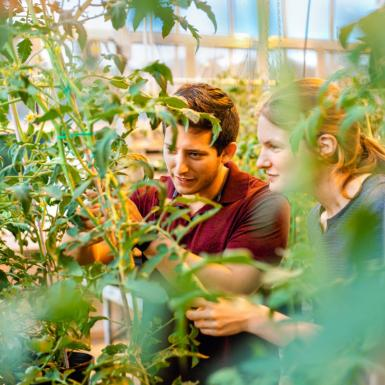 A man and woman inspecting green tomato plants in a greenhouse