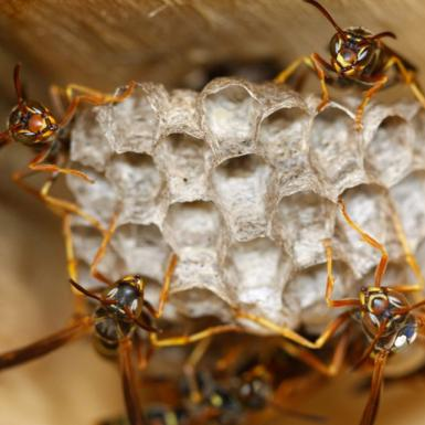 Paper wasps creating a hive