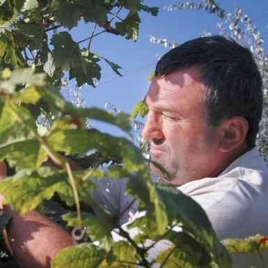 A man works to take grapes off of a vine as the sun shines against both the grapes and his face