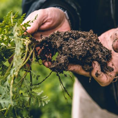 cover crop roots in soil