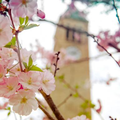 pink flowers in front of a clock tower