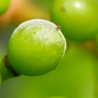 A green grape with a white substance on it