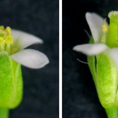 The same flower in two phases of opening