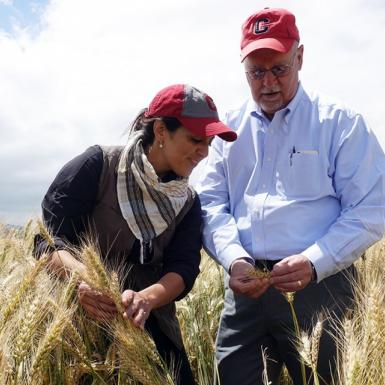 Two scientists inspect plants in wheat field