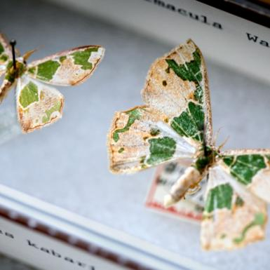 Two yellow and green moths pinned to a box