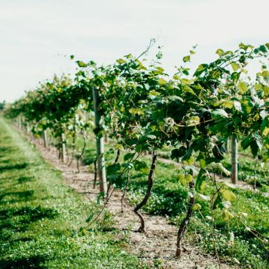 Rows of grape vines in a field at Cornell AgriTech Gates farm.