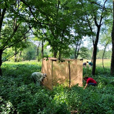 People erecting biocontrol tents in wooded area