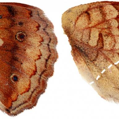 Brown and tan butterfly wings