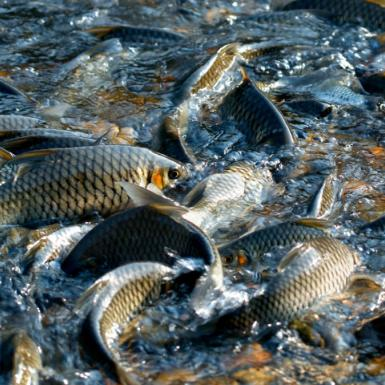 Silver and gold colored fish surfacing on choppy water