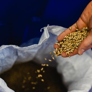 A hand holds a handful of malting barley, pouring it into a grain bag.