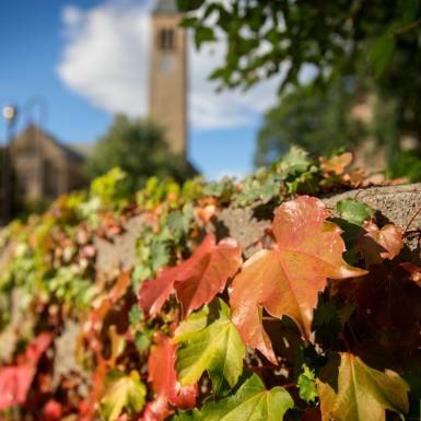 Ivy in fall colors with McGraw Tower in the background