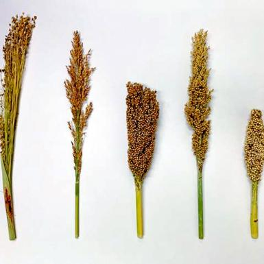 five different sorghum races lined up next to one another