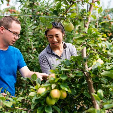 Male graduate student and female technician work in an orchard.