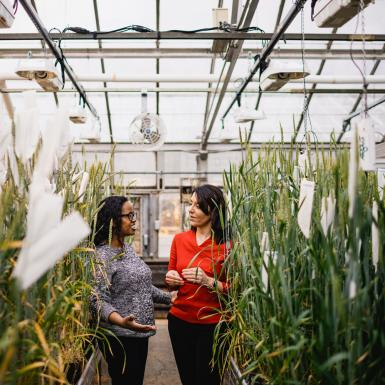 Two scientists talking in greenhouse with wheat plants