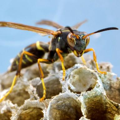 A wasp sitting on a paper wasp nest