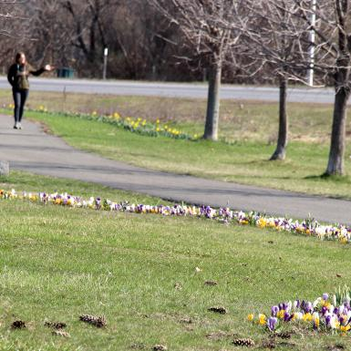 A sweep of early-season flower bulbs sprout from the lawn adjacent to a park walkway