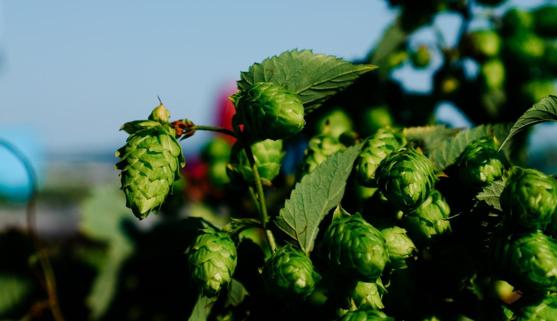 Close up of hops in a field