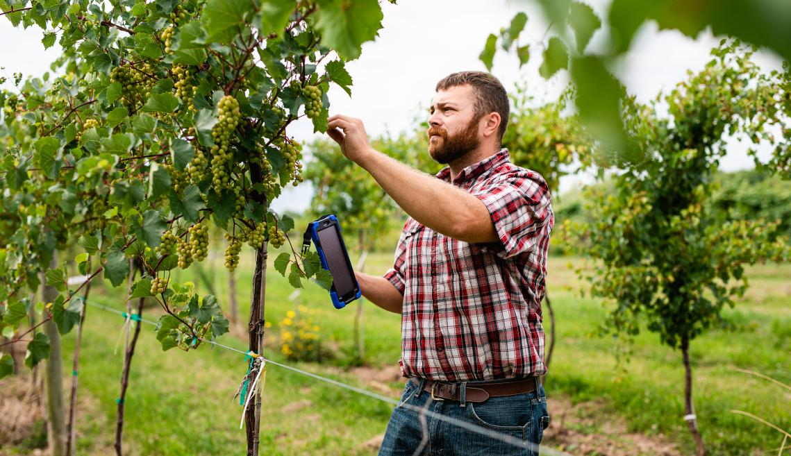 Man holding tablet inspecting grapes in a vineyard.